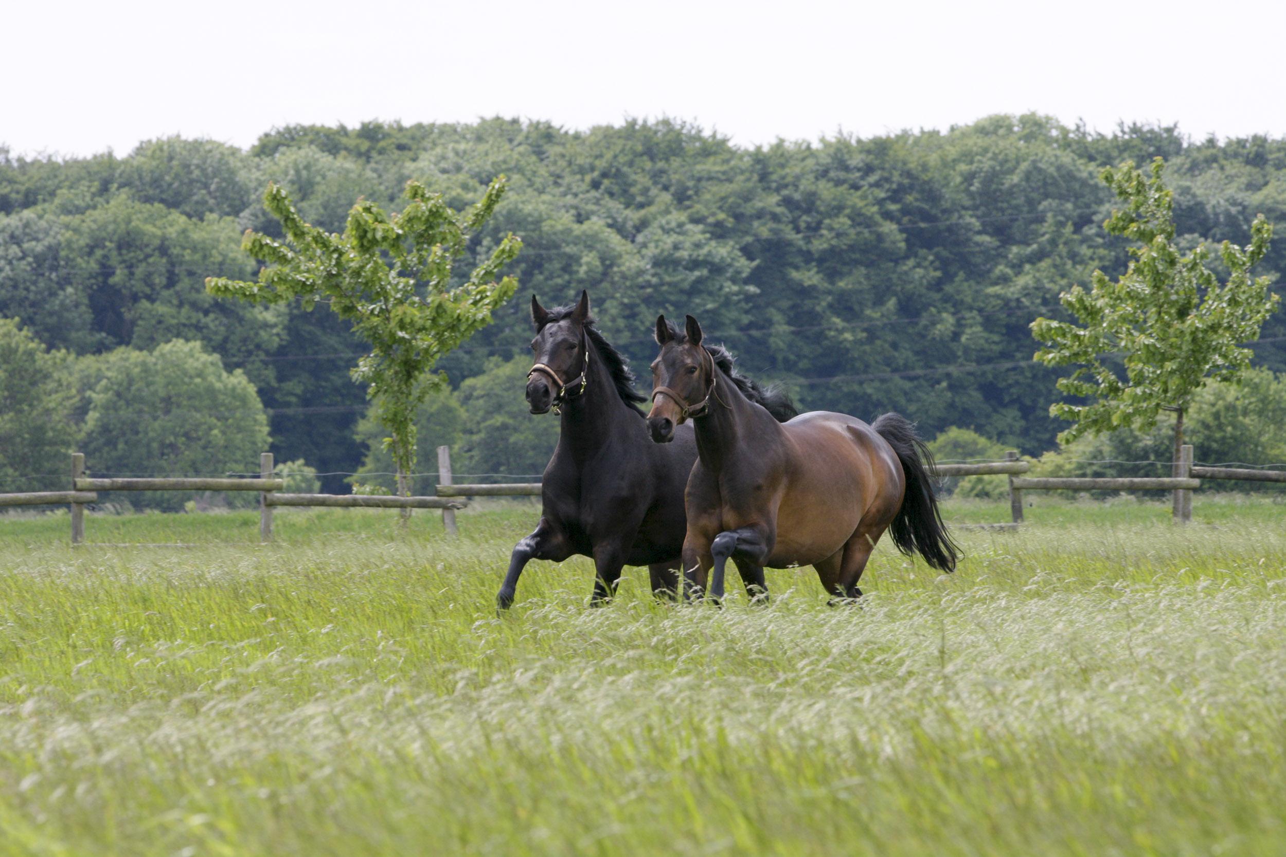 2 glückliche Pferde auf Wiese